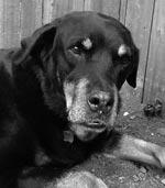 Rescued Rottweiler- Gypsy's Watch